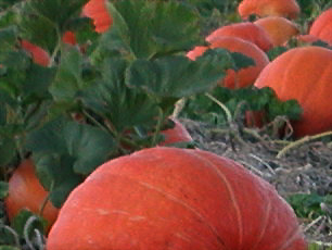 Great Hudson Valley Community Calendar and Bulletin Board - another pumkin patch